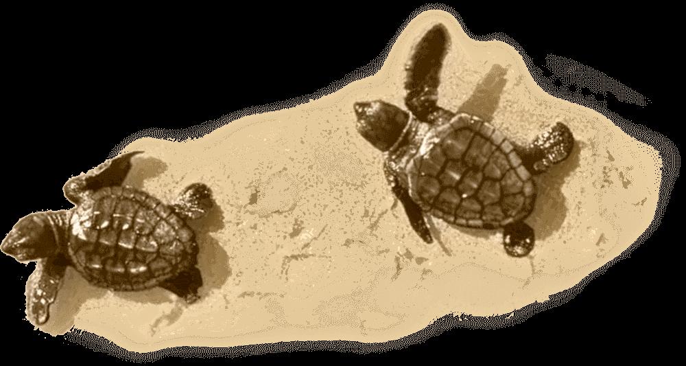 Little Turtle on Sand
